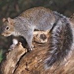 Another Good Reason for Microgrids: Cyber Squirrel Operations are Climbing